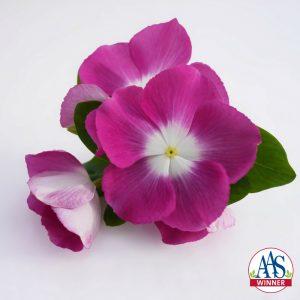 Vinca 'Mega Bloom Orchid Halo'