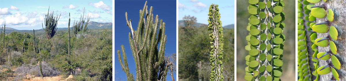 Alluaudia in the spiny forest in southern Madagascar (L), Alluadia sp. in habitat (LC and C), closeup of the leaves (RC) and the spines (R).