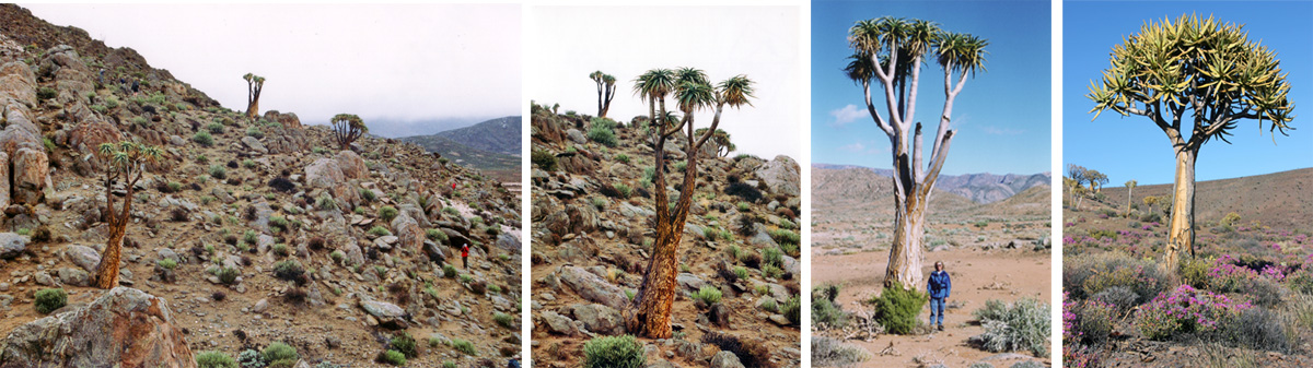 Aloe pillansii habitat (L), in the Richtersveld, South Africa (LC), with the author (RC), and the more common Aloe dichotoma (R) near Niewoudtville, South Africa.