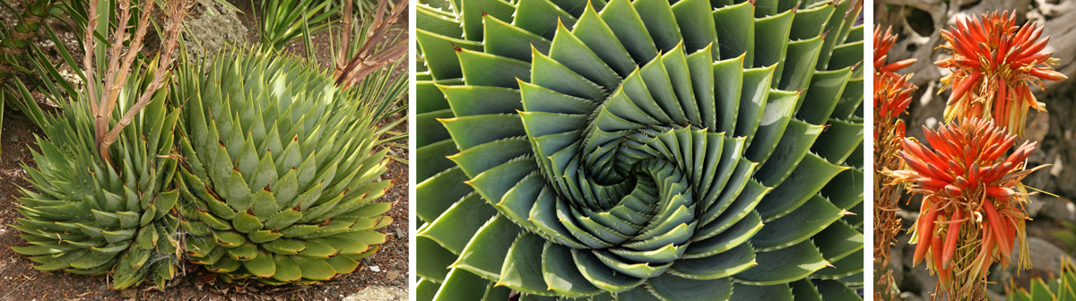 Aloe polyphylla at Totara Waters, Auckland, New Zealand (L), spiral arrangement of the leaves when viewed from above (C), and red flowers (R).