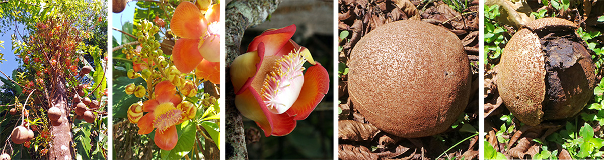 Cannonball tree, Couroupita guianensis (L), flower clusters (LC), flower (C), intact fruit (RC) and opened fruit (R).