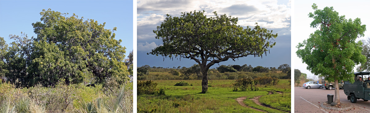 Sausage trees, Kigellia africana, on the Okavango Delta, Botswana (L), in Masai Mara National Park, Kenya (C), and a young tree planted in the parking lot of the Phebeni Gate to Kruger National Park, South Africa (R).