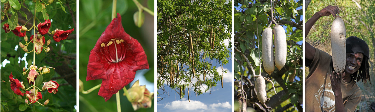 Kigellia africana inflorescence (L), flower (LC), fruits (C and RC), and a local holding up a large fruit (R).