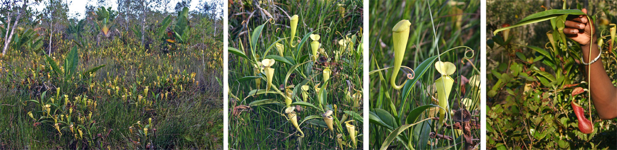 A bog filled with Nepenthes in Madagascar (L), with mainly yellow pitchers (LC and RC) and a few red ones (R).