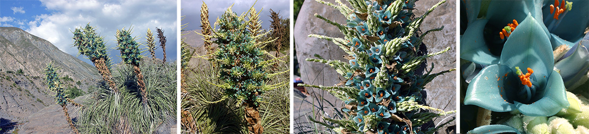 Puya berteroniana in habitat (L), inflorescence (LC, flowers (RC), and closeup of waxy, turquoise flower (R).