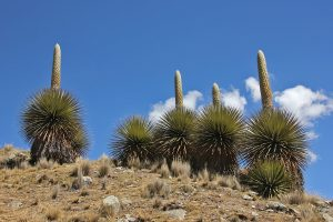 Puya raimondii in Huscarán National Park, Peru.