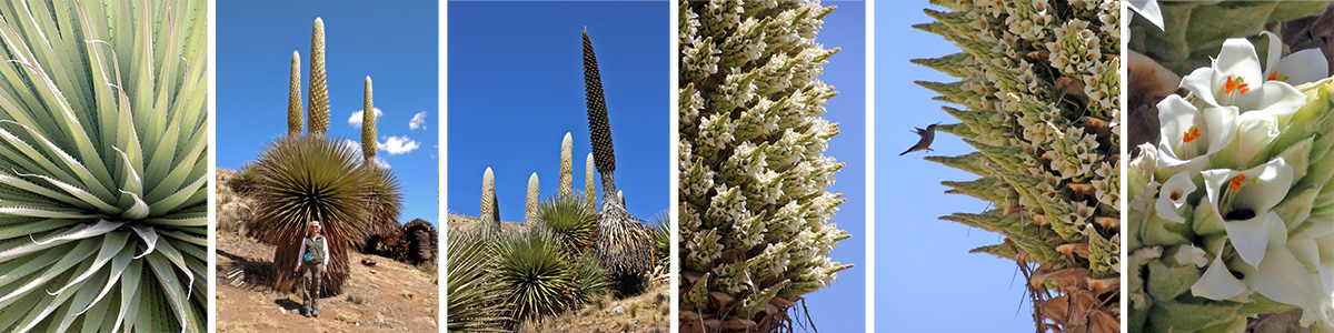 Puya raimondii L-R: leaves, the author in front of a flowering plant, flowering plants (white) and dead plant that flowered the previous year (brown), closeup of inflorescence, hummingbird at flowers, and closeup of white flowers.