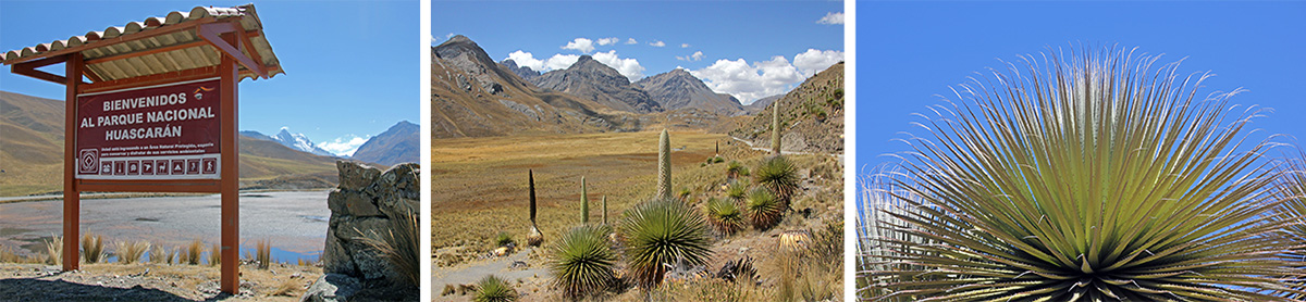 Entrance to Huascarán National Park, Peru (L), Puya raimondii in the Park, and a younger plant (R).