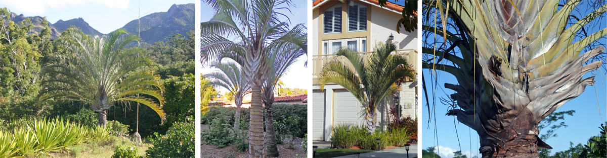 Triangle palm, Dypsis decaryi, in Madagascar (L), near Spanish Village in Balboa Park, San Diego (LC), in a residential landscape in southern California (RC), and closeup of the three-sided trunk (R).
