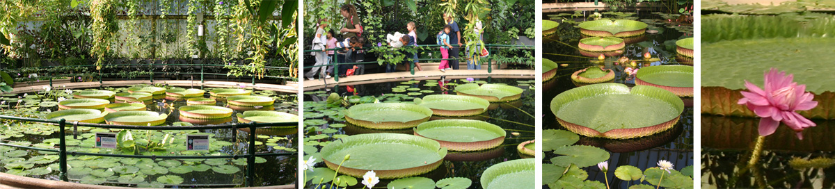 Victoria amazonica at Kew Gardens (L and LC) with huge floating leaves (RC) and big flowers (R).