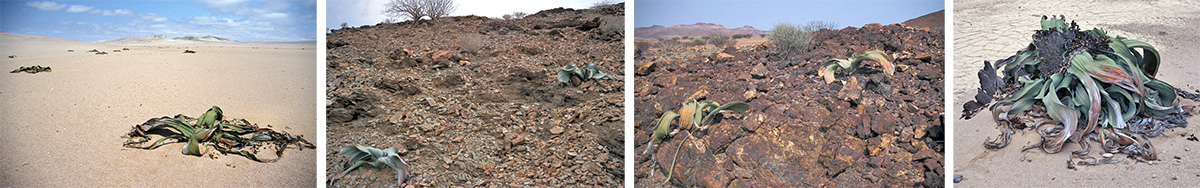 Welwitschia mirabilis in habitat in the sandy Welwitschia Flats of Namib-Naukluft Park near Swakopmund, Namibia (L) and on rocky slopes in western Namibia (LC and RC), and a very large, old plant (R).