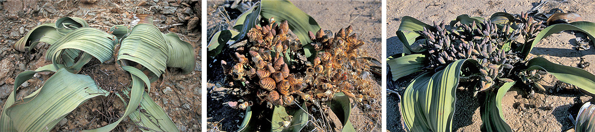 Welwitschia mirabilis plants have just a single pair or leaves (L) and produces female (C) and male cones (R).