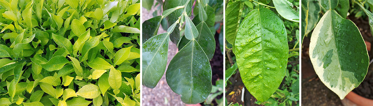 Citrus leaves (L) often have a flange on the petiole (LC) and may be dark or light green (RC) or variegated (R).