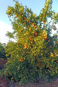 A backyard orange tree in San Diego.