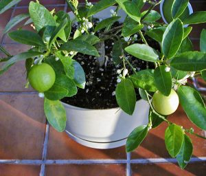 Grow citrus in well-drained potting medium and keep it moist, but not wet.