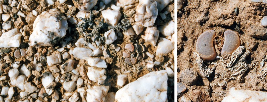 Lithops are masters of camoflouge: L. herrei on a white quartz outcropping near the NAMDEB operation at Auchos, Namibia.