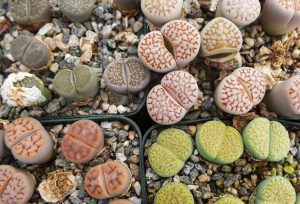 Lithops can be grown from seed.