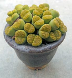 Lithops can remain in a small pot for many years.