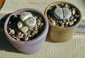 Lithops are popular novelty houseplants.