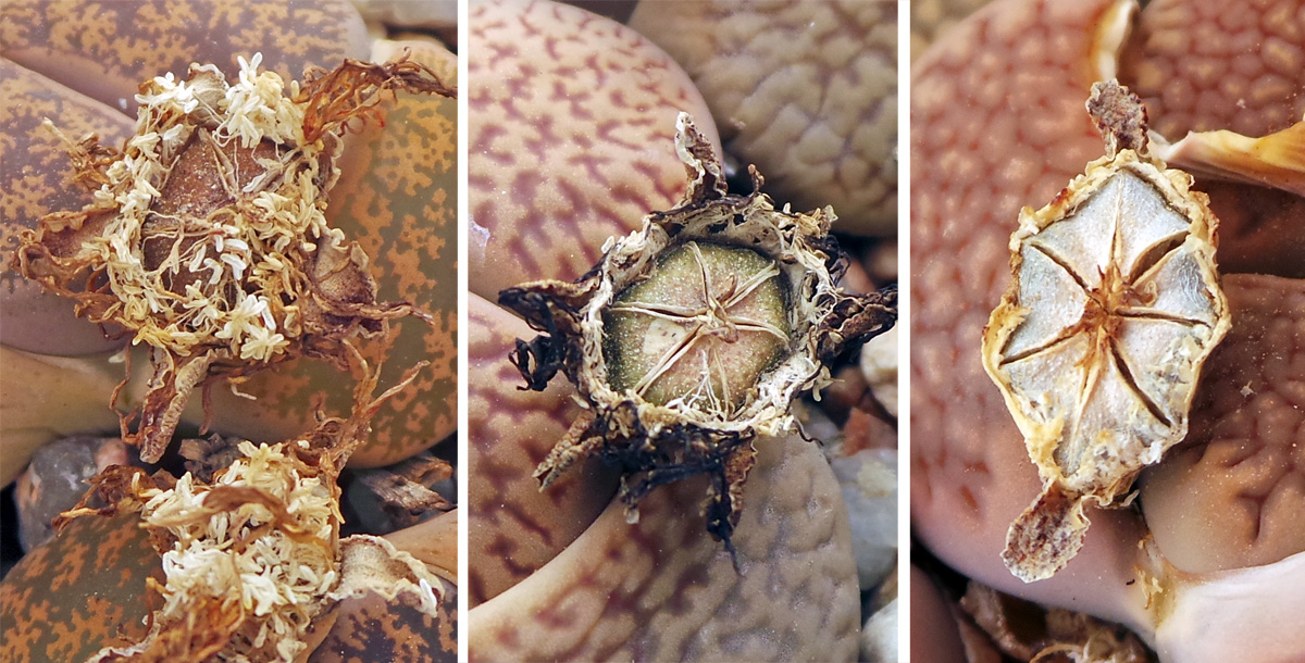 After the flowers fade (L), a chambered fruit capsule remains (C) which opens when moistened (R).
