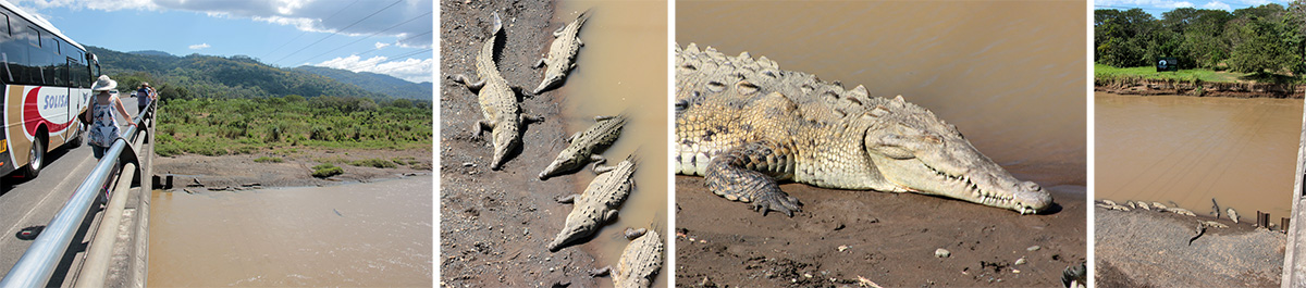 Crocodiles in the Tarcoles River.