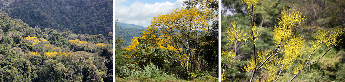 Yellow-flowering trees in the forest (L and C); infloresences of Schizolobium parahyba (R).