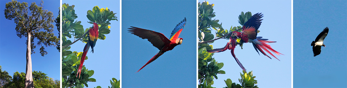 Kapok tree, Ceiba pentandra (L), scarlet macaws (LC, C, RC) and king vulture (R).