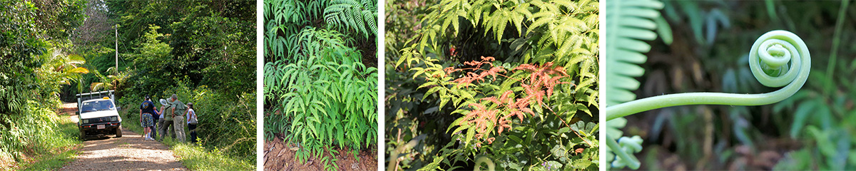 The group botanizing and birding along the road (L) and fan fern plants (LC), new foliage (RC) and tendril (R).