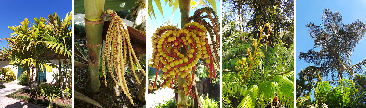 The palm Pinanga kuhlii (L), a young inflorescence (LC), older inflorescence with fruits (C), new frond of tree fern (RC) and a Caryota palm (R).