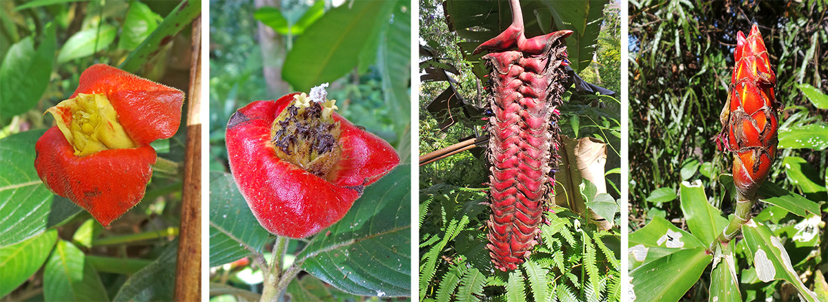 A fresh inflorescence of Psychotria spp. (L) and an older one with white flowers (LC), red inflorescence of Heliconia (RC) and spiral ginger (R).