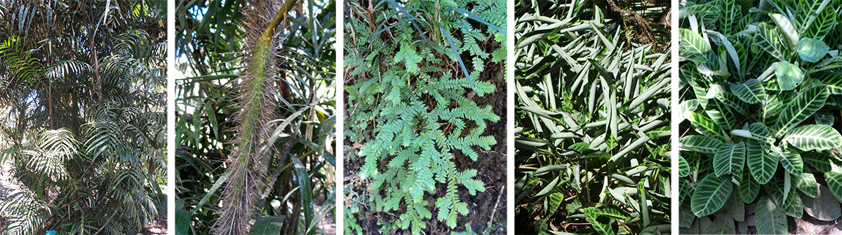 Wait-a-while palm (L) with spiny stem (LC), a selaginella (C), and the Calathea colony in sun (RC) and shade (R).