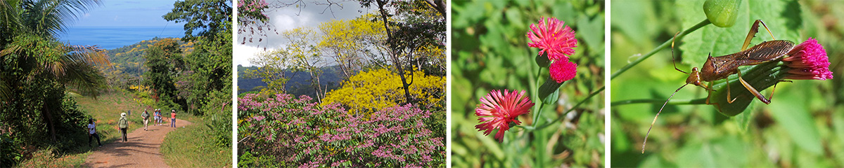 Further up the road, with nice views of the ocean (L) and blooming trees in yellow (Schizolobium parahyba)and pink (LC). Flowers of Emelia sp. (RC) and leaf-footed bug on a flower bud (R).