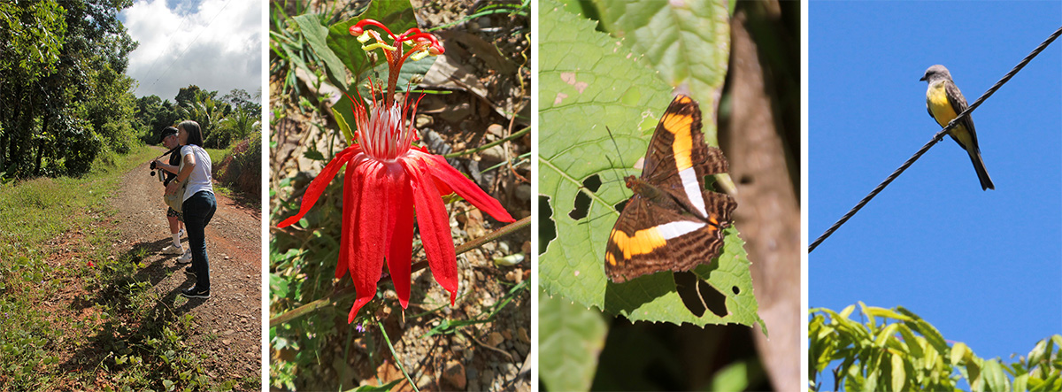 Don and Della stop on roadside (L) to look at the flower of Passiflora vitifolia (LC). Butterfly, Adelphia sp. (RC). Tropical kingbird (R).