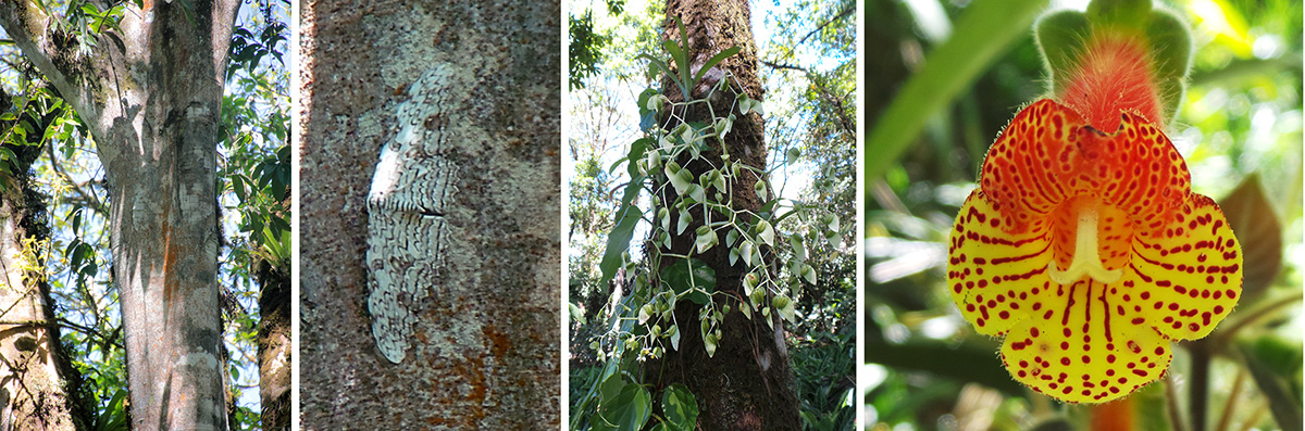 Tall tree with white witch moth on trunk (L), closeup of moth (LC), begonia inflorescence on tree (RC) and unidentified gesneriad (R).