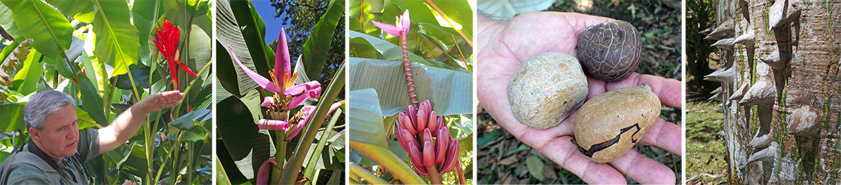 Rodolfo shows the group the fruit of Musa coccinea (L), the flowers of M. rosea (LC), the fruit and flowers of M. violacea (C), tagua nuts (RC) and thorns on Ceiba pentandra  trunk (R).