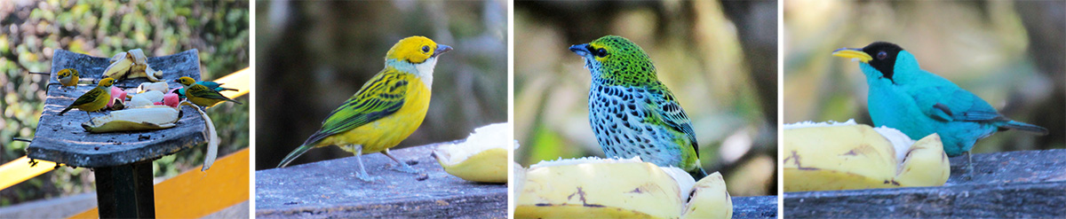 Birds at the platform feeder (L): silver-throated tanager (LC), speckled tanager (RC), and male green honeycreeper (R).