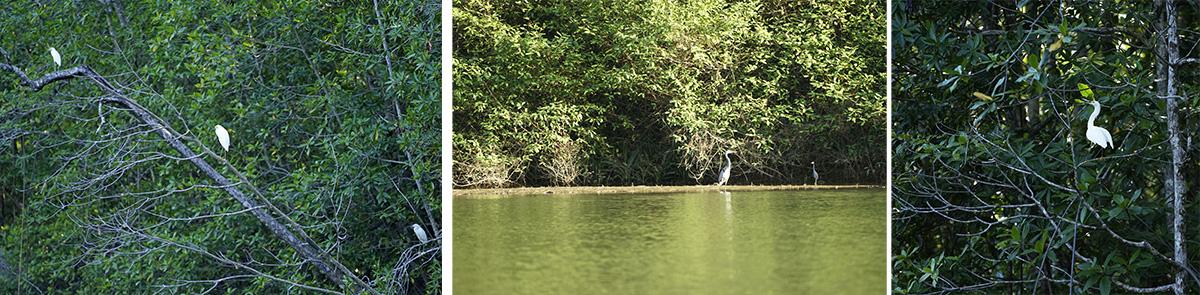 Egrets and herons in the mangrove habitat.