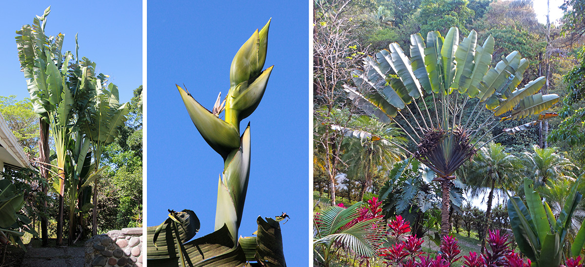 Traveler palms: Phenakospermum guyannense (L) and inflorescence (C), and Ravenala madagascarens (R).