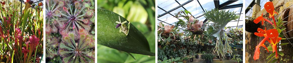 Pitcher plants (L), sundews (LC), a flower of Ruscus hypoglossum (C), staghorn ferns (RC), and Columnea arguta flowers (R).