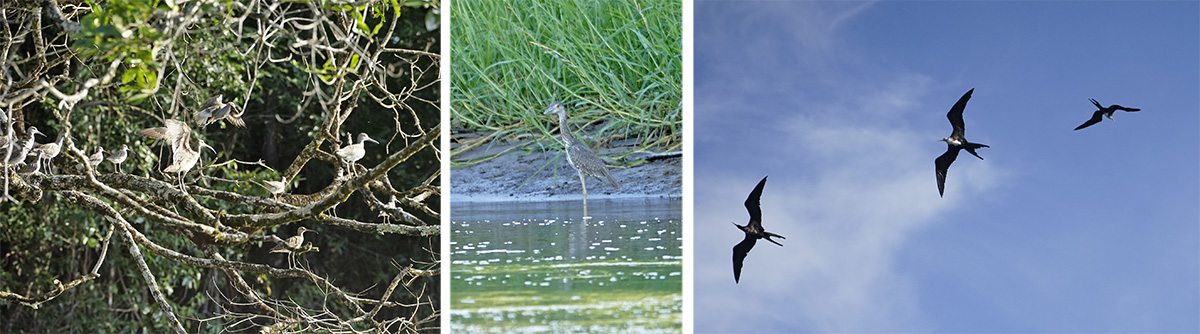 Whimbrels (L), immature yellow-crowned night heron (C), and magnificent frigate birds overhead (R).