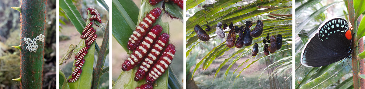 Atala butterfly, Eumaeus atala, hatched eggs (L), group of young larvae (LC) and closeup (C), pupae on underside of cycad leaf (RC) and adult female laying eggs (R).