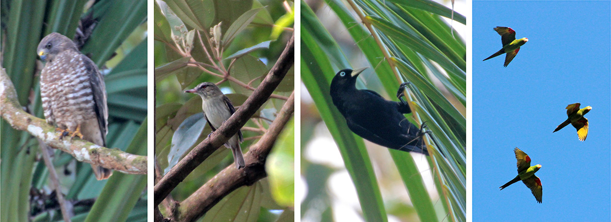 Double-toothed hawk (L), bright-rumped attila (LC), scarlet-rumped cacique (RC) and orange-chinned parakeets in flight (R).