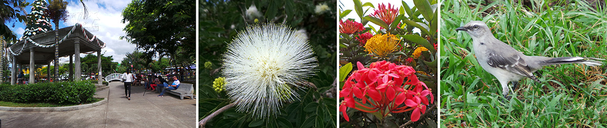 The central square (L), a white powderpuff flower (LC), three Ixora plants planted very close together to create the appearance of a multicolored shrub (RC), and tropical mockingbird (R).