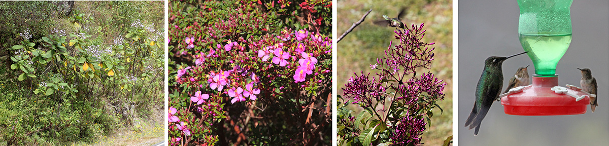 Wigandia urens on roadside (L), flowers of Monocahetum amabile (LC), hummingbird feeding at Fuchsia paniculata (RC), and L-R magnificent hummingbird, scintillant hummingbird, and volcano hummingbird at feeder (R).