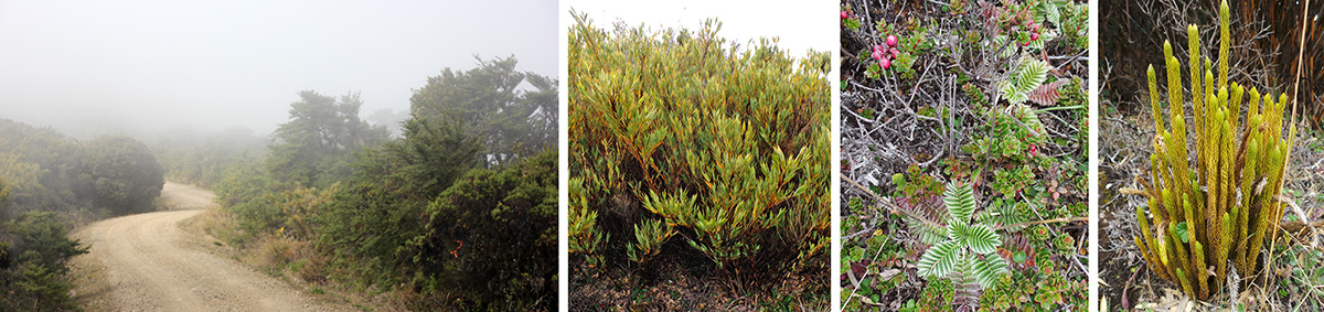 Paramo habitat in the clouds (L), dwarf bamboo, Chusquea subtessellata (LC), mixture of small, low paramo plants including the silvery Acaena cylindrostachya (RC), and Lycopodium (R).