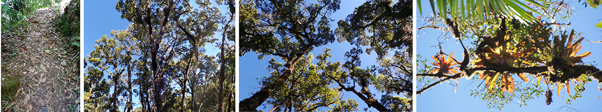 The trail covered with leaves (L), the primary forest (LC), looking up into the canopy (RC), and bromeliads high in a tree (R).