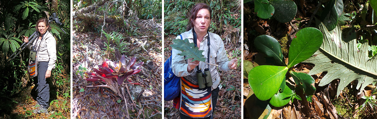 Guide Margherita tells the group about a plant (L), fallen bromeliads (LC), Margherita talks about Clusia and Bocconia (RC) based on their fallen leaves (R).