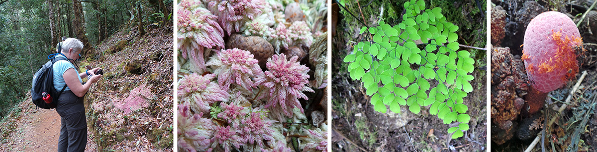 Percy photographs a patch of sphagnum moss, Sphagnum magellanicum (L), closeup of the moss (LC), Maidenhair fern (RC), and a weird parasitic plant, Helosis mexicana (R).