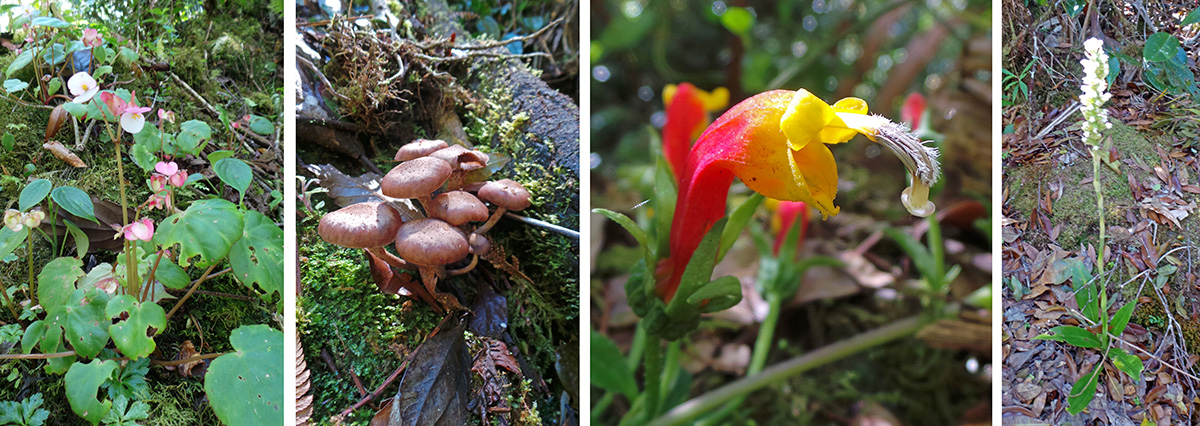 Small begonia (L), mushrooms (LC), flower of Centropogon sp. (RC), and a terrestrial orchid (R).