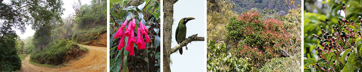 Hairpin turn in the road (L), Bomarea flowers (LC), emerald toucanet (C), wild avocado tree (RC) and its fruits (R).